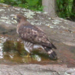 hawk getting water